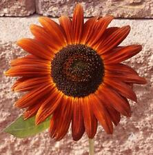 Sunflower Seeds - VELVET QUEEN - Helianthus Annuus - Annual Plant - 10 Seeds