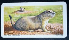 BLACKTAIL PRAIRIE DOG     Illustrated Card   VGC
