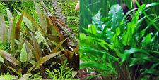 10 piante acquario dolce resistenti