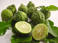 THAI KAFFIR LIME HEIRLOOM SEEDS ORGANIC FRESH 10 SEEDS + Ship