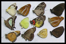 Box of 12 unframed Butterflies - insect taxidermy and entomology