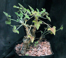 Pelargonium quinquelobatum caudex plant extremely rare! 5 fresh seeds