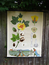 VINTAGE BOTANICAL  PULL DOWN SCHOOL CHART OF A COTTON PLANT CIRCA 1970
