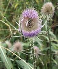 Karde wilde 110 Samen Bienenweide Dipsacus fullonum Weberdistel Staude lila