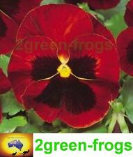 Pansy-Colossus Red Blotch edible 25 seeds Aussie Seller