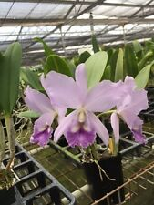 BIN-Blc. Sweet Sharon 'Long Life' Easy 2 grow & bloom! Fragrant!