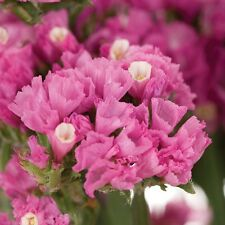 Statice QIS Rose (Limonium sinuata) Seeds Good Cut & Dried Flower Perennial