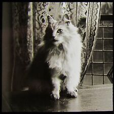 Glass Magic Lantern Slide CAT ON A TABLE C1910 PHOTO