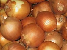 Onion Seeds- Sweet Yellow Spanish Heirloom- 250+ Seeds