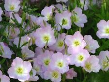 SHOWY PINK EVENING PRIMROSE Oenothera 50 Seeds (FLOWER SEEDS)