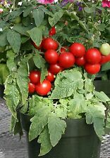 Vegetable - Tomato -  Totem  F1 - 10 Seeds - Patio Pots