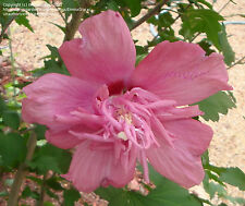 BONSAI Rose of Sharon SEEDS 'Freedom' Hibiscus syriacus DOUBLE/TRIPLE Hardy 5a