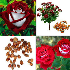 FD4202 Rare Seed Osiria Rose Ruby Rose Flower Seeds Home Garden Plant 50PCs  ☆