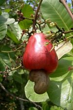 15 Cashew Nut Tree Seeds Anacardium occidentale cashew apple Gardening Seed