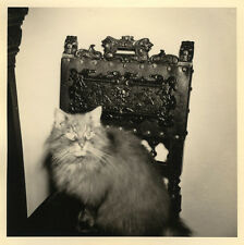 PHOTO ANCIENNE - VINTAGE SNAPSHOT - ANIMAL CHAT ÉNERVÉ CHAISE - CAT ANGRY CHAIR