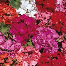 New Pack Kings Seed Geranium 'Country Garden Mix' Flower Seeds (30 Seeds)