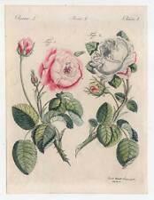Rosen - Rose - Blume - Botanik - altkolorierter Kupferstich aus Bertuch um 1800