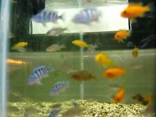 (10) African Malawi Mbuna Cichlid Tropical freshwater assortment