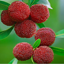 20 x Myrica Rubra Red Bayberry Samen China Erdbeerbaum Morella Rubra Seeds