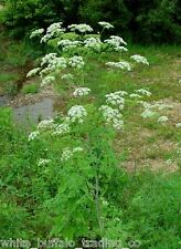 "100+ Wild-crafted ""Poison"" Hemlock Conium maculatum seeds eco-harvested 1/2 gram"