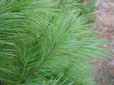 White Pine Needle / Medicinal Herb / 24 Tea Bags