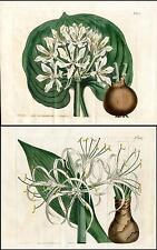 1812 Curtis Botanical Magazine Double Pancratium Lily, 2 Original Antique Prints