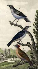 LE FIGUIER ORANGE, HUPPE et NOIR oiseau gravure de 1819 réhaussée à l'aquarelle