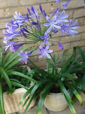 "Stunning and Striking ""African Sky"" Agapanthus Plants For Sale  - get 3 for 2!"
