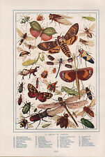 1911 NATURAL HISTORY DOUBLE SIDED PRINT ~ GIANT SWIFT MOTHS / VARIOUS INSECTS