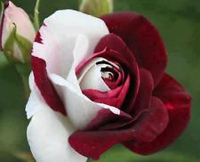 Pack 100 fresh Seeds Rare Heirloom White Shrub Flower  garden