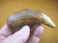 "(CAVE257-312) 4-3/4"" EXTINCT Fossil male CAVE BEAR Canine TOOTH CANINE Romania"