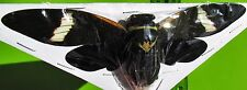 Lot of 10 Giant Rare Thai Cicada Formotosena montivaga Spread FAST SHIP FROM USA