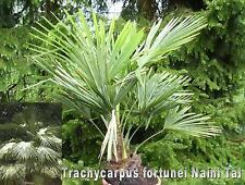 Trachycarpus fortunei, Naini Tal, Hanfpalme, 100 Samen