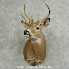 #16083 E | Whitetail Deer Taxidermy Shoulder Mount For Sale