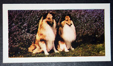 Shetland Sheepdog   Sheltie    Vintage Colour Photo Card  ##  Excellent