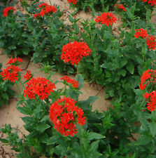 Red Brilliant Lychnis Seed 30 Seeds Lychnis Fulgens Flower Garden Seeds Hot A223