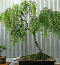 Llorando Tea Tree! Raro! Hardy!!! Ideal Bonsai en interiores o al aire libre!! Semillas Frescas