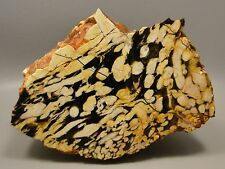 Peanut Wood Rough Rock Cabbing Cutting Petrified Wood Australia Endcut #3