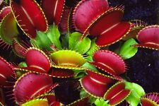 New Carnivorous plant Dionaea muscipula, Venus Fly Trap, 30 seeds