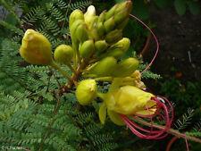 """Wunderschöne exotische gelbe Blüten zieren den ungwöhlichen """"Paradiesvogelbusch"""""""