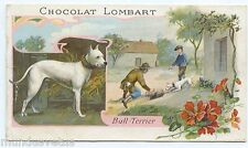 CHOCOLAT LOMBART. Chien . Bull terrier . Dog