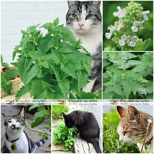 Best Of Catnip 250 Seeds Catmint Cat Mint Nepeta Cataria Perennial +Ship