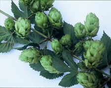 PHOENIX HOP SEED * BULK 100 SEEDS * SPICY FLAVORED * CASH CROP * BEER *
