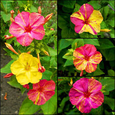 MARVEL OF PERU MIX - FOUR O'CLOCK - Mirabilis jalapa - 45 SEEDS