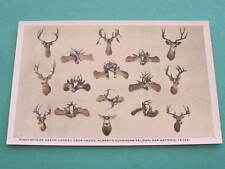 Eight Sets of Death Locked Deer Heads Alberts Buckhorn Saloon Taxidermy Postcard