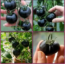Bonsai Black Tomato 40 Seeds, Hybrid Rare Variety, High Germination