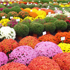 Ground-cover Chrysanthemum Flower 500 Real Seeds Local Farmer Wonder Mix Color