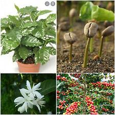 10 Samen der Coffea arabica geschält, geschält Samen frischem Kaffee, G