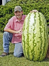 Fruit seeds 20 pcs Giant Watermelon Seeds- HUGE 200 lbs,Home gardening