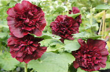 Hollyhock Seeds - CHATER'S DOUBLE PURPLE - Drought Tolerant - Alcea - 25 Seeds